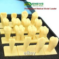 2.5x Dental- Tooth anatomy, Human Oral Dental Medical Teaching Anatomical Model