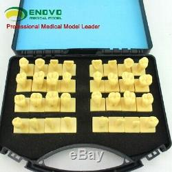 2,5x Dentale Anatomie Des Dents, Humain Bucco-dentaire Médicale Enseignement Modèle Anatomique