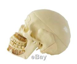 Crâne Humain Étude Dentaire Modèle Dents Anatomie Médicale Étude Dentaire