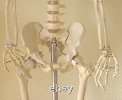 Modèle Anatomique Du Squelette Humain Grandeur Nature 5'7 Enseignement D'étudiant En Médecine Dentaire